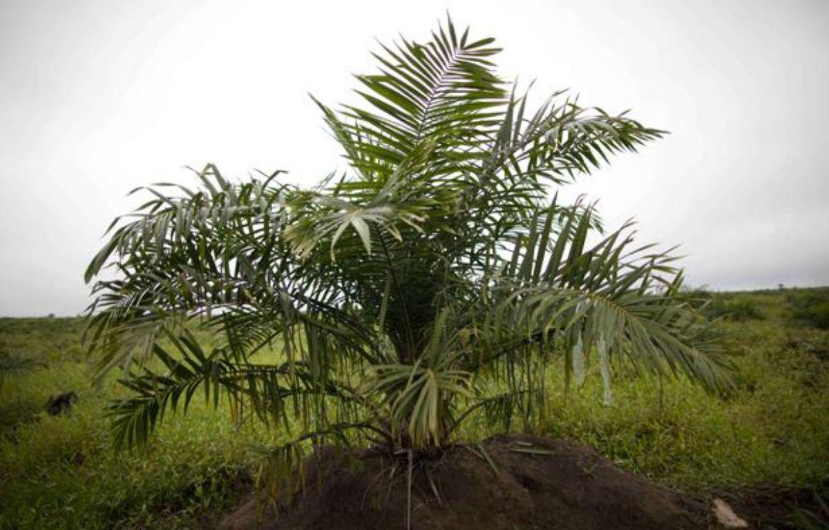 Un palmier à partir duquel est fabriquée l'huile de palme. – AP Photo/Rodrigo Abd