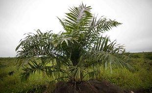 Un palmier à partir duquel est fabriquée l'huile de palme.