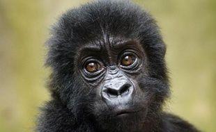Un bébé gorille le 15 septembre 2012 dans le parc national de Virunga