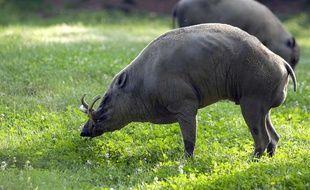Un babiroussa (cochon-cerf) poilu.