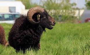 Une vingtaine de moutons avranchins a élu domicile dans le lycée Pierre Mendès-France à Rennes.