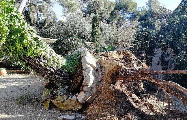 Un pin déraciné après le passage d'une tornade à Sausset-les-Pins.