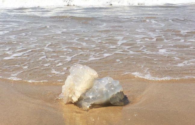 Plusieurs méduses rhizostome se sont échouées début juillet 2018 sur le littoral Atlantique, notamment en Gironde et en Charente-Maritime.