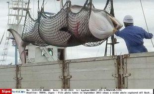 Une baleine capturée au large des côtes du nord du Japon, en septembre 2013.