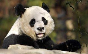 Mei, la femelle panda du zoo de Washington, en décembre 2011.