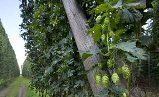 C'est le houblon qui produit l'amertume de la bière.