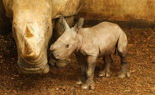 Le bébé rhinocéros blanc né au zoo de La Boissière-du-Doré.
