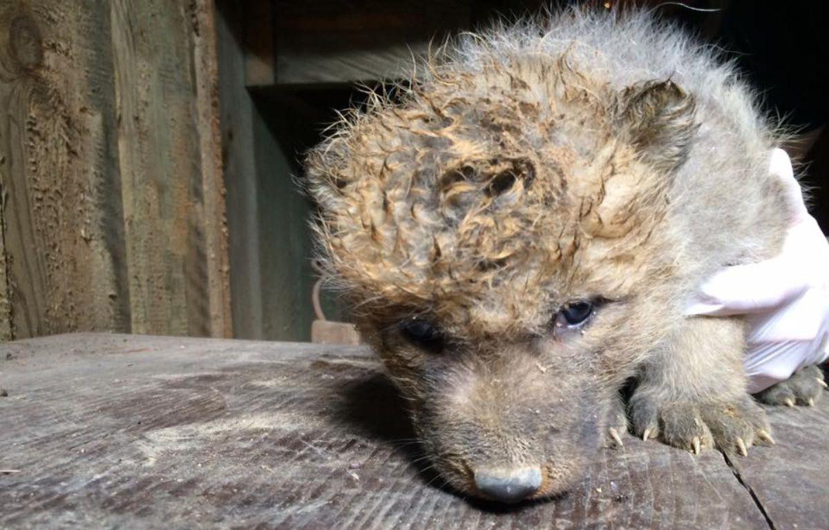 Quatre louveteaux d'Arctique sont nés en mai 2017 au zoo d'Amnéville, en Moselle. – Facebook / Zoo d'Amnéville