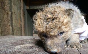 Quatre louveteaux d'Arctique sont nés en mai 2017 au zoo d'Amnéville, en Moselle.