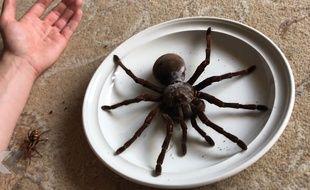 L'araignée la plus grosse du monde ? - Le Rewind