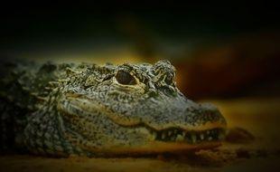 Un crocodile. (photo illustration)