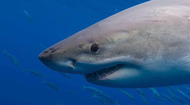 Video un grand requin blanc saute sur le bateau d 39 un p cheur - Dessiner un requin blanc ...