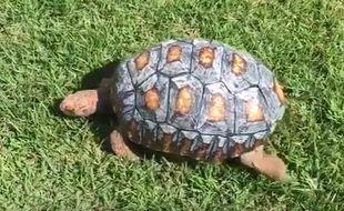Freddy, la première tortue à recevoir une carapace conçue grâce à l'impression 3D.