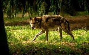 Un loup au zoo de Pleugueneuc (Ille-et-Vilaine)