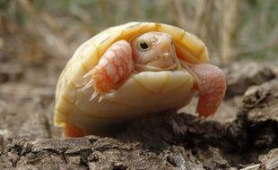 Une tortue albinos est née dans un parc animalier des Pyrénées orientales, en septembre 2015.