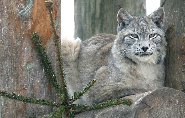 Un lynx de Sibérie observe les alentours depuis un arbre, le 02 février 2006 dans le zoo du parc de l'Orangerie à Strasbourg.
