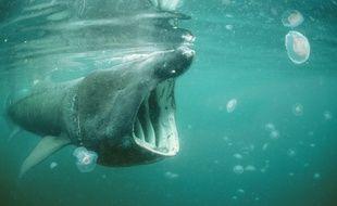 Le requin pèlerin ne mange que du plancton. Il est inoffensif pour l'homme.