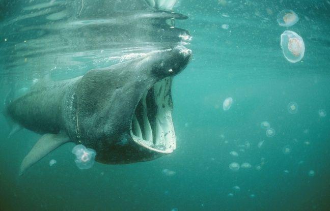Le requin pèlerin ne manque que du plancton. Il est inoffensif pour l'homme.