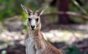 Un kangourou dans le Queensland, en Australie.
