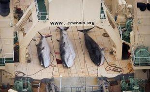 Photo aérienne prise le 5 janvier 2014 par l'association écolo Sea Shepherd montrant trois baleines de Minke sur le pont du navire-usine japonais Nisshin Maru, repéré dans les eaux territoriales néo-zélandaises