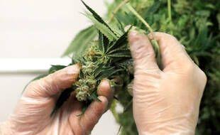 Dans le cadre de l'expérimentation française du cannabis à usage médical, les médicaments seront fournis sous forme d'huile, de fleurs séchées à vaporiser ou de comprimés aux 3.000 participants sélectionnés.