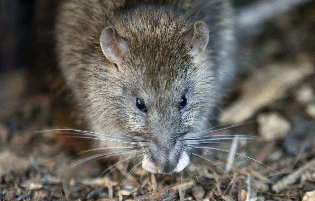 Un bar à rats devrait ouvrir en juillet à San Francisco – Francois Mori/AP/SIPA