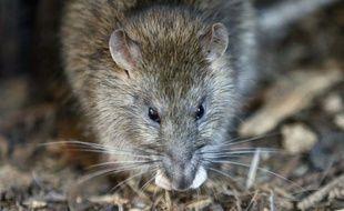 Dans les centres historiques, on compte souvent 1,5 à 1,7 rats par habitant.