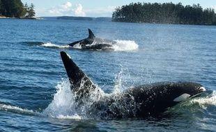 Un groupe de plongeurs a pu admirer plusieurs orques lors d'une sortie sur le Bassin d'Arcachon.