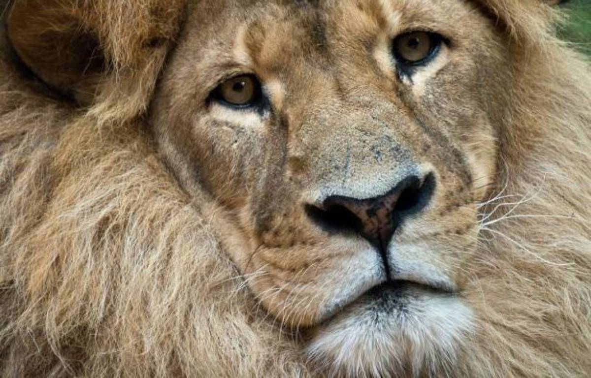 La Zambie a annoncé jeudi l'interdiction de la chasse au lion et au léopard pour protéger des espèces en diminution sur son territoire. – Manan Vatsyayana afp.com