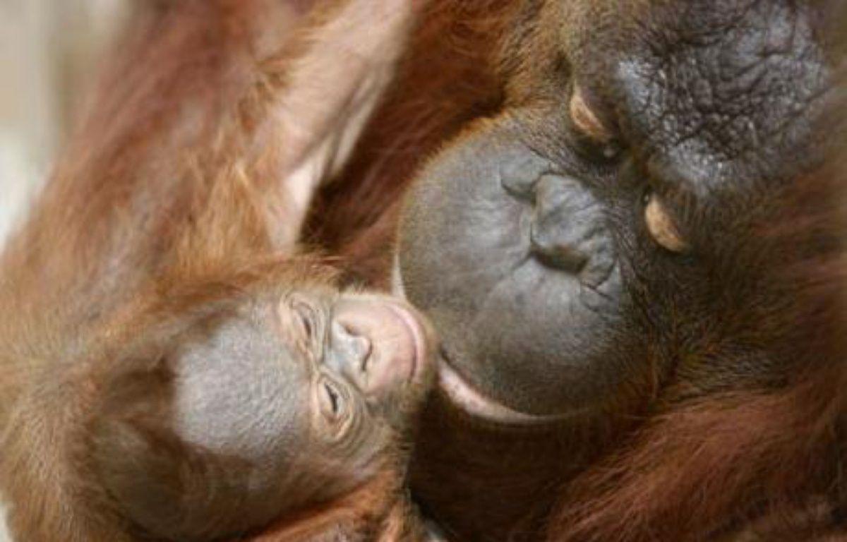 Moni, une femelle orang-outang joue avec son bébé âgé de 5 jours au zoo de Yogyakarta, Indonésie, le 8 novembre 2007. – STRINGER / REUTERS