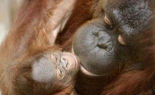 Moni, une femelle orang-outang joue avec son bébé âgé de 5 jours au zoo de Yogyakarta, Indonésie, le 8 novembre 2007.