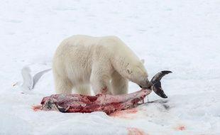 Un ours dévore un dauphin sur la banquise, en avril 2014.