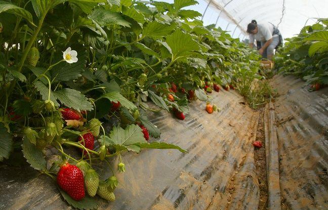 Coronavirus: Pourquoi les fraises auront du mal à arriver jusqu'à nos assiettes