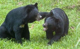 Des ours noirs d'Asie jouent (illustration).