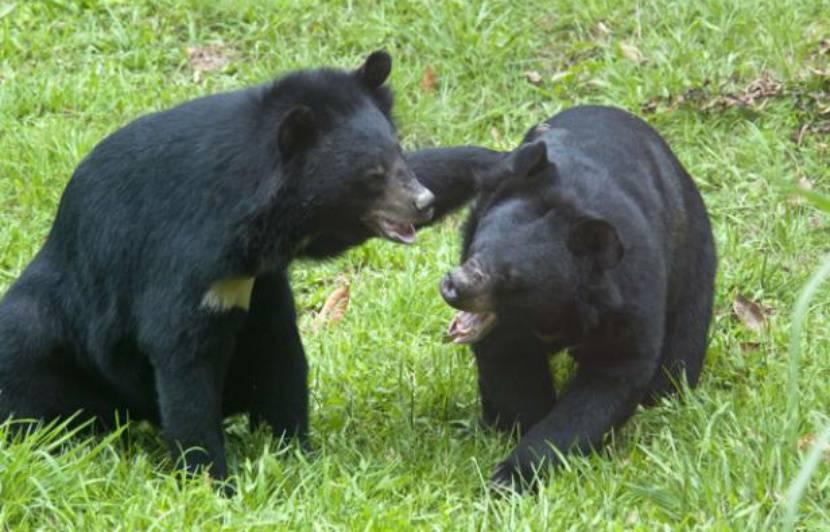 Laos : Cinq oursons noirs d'Asie sauvés en une journée par une ONG