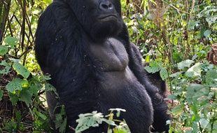 Un «gorille de montagne» en République démocratique du Congo.