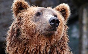 Un ours brun. Image d'illustration.