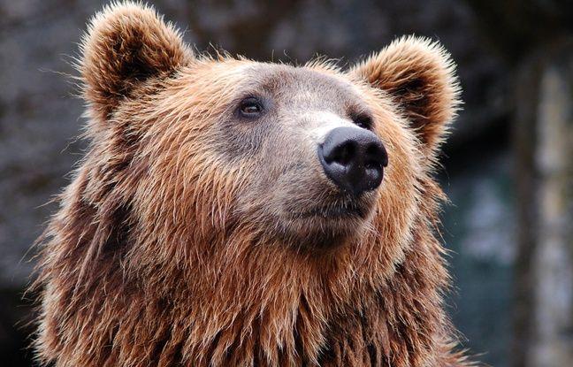VIDEO. Nantes: Un randonneur nantais poursuivi par une ourse dans l'Ariège