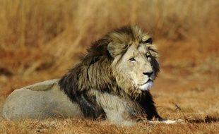 Les lions sud-africains étaient déjà appréciés des chasseurs pour les trophées. Ils sont maintenant recherchés pour leurs os, expédiés en grandes quantités vers l'Asie où ils sont utilisés par la médecine traditionnelle, ce qui fait craindre une flambée du braconnage.