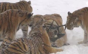 Les tigres de Sibérie vivant dans le parc naturel de la province chinoise deHeilongjiang s'en sont pris à un drone, en février 2017.