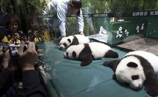 Bon, là, ils ne débordent pas vraiment d'énergie, mais le directeur du Safari Park Chimelon l'assure : ces triplés pandas sont en bonne santé.
