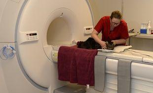 Dans la clinique, les chats et les chiens ont la possibilité de passer une IRM.