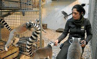 Le nourrissage des lémuriens de Madagascar, moment de contact privilégié.