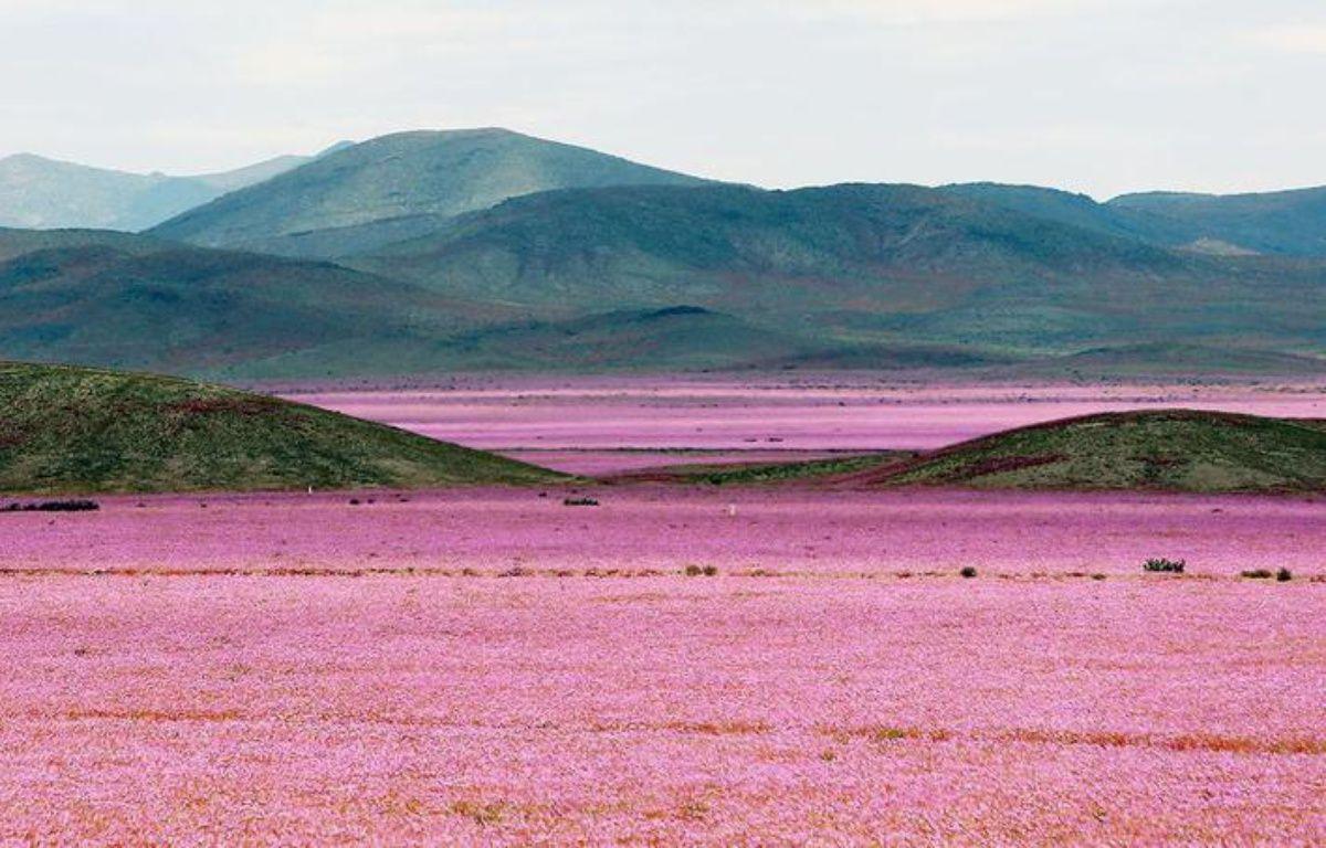 Au Chili, le phénomène climatique El Niño amène les pluies nécessaires pour transformer le désert d'Atacama en champ de fleurs.  – Mario Ruiz