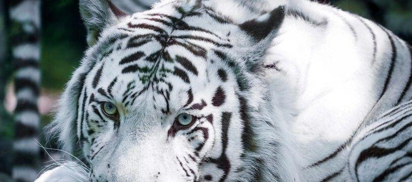 Un tigre blanc du zoo de Beauval, en septembre 2019.