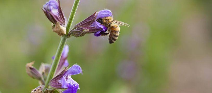 Une abeille en plein travail (photo d'illustration)