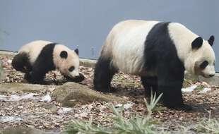 La femelle panda Shin Shin, ici avec son bébé Xiang Xiang, né en 2017.