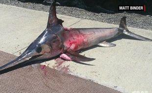 Un pêcheur a été tué par un espadon à Hawaï.