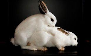 """Des lapins présentés en plein accouplement dans l'exposition """"Bêtes de sexe"""", au Palais de la découverte, à Paris, du 23 octobre 2012 au 25 août 2013."""