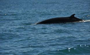 L'Islande avait repris la chasse à la baleine de Minke depuis 2003. (illustration)